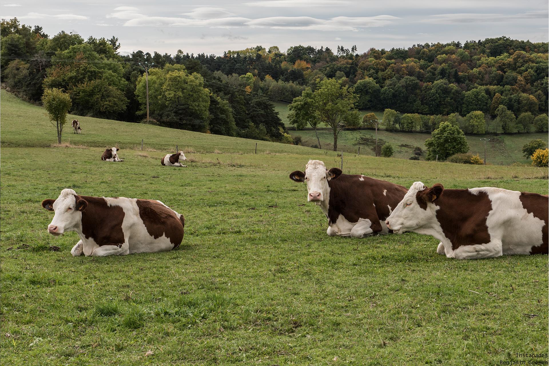 156-vache
